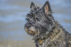 Portrait of a cairn terrier, close up. The picture is shot in Dusa which is a recreation area just outside Halden, Norway Royalty Free Stock Photos