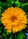Portrait of calendula flower stock photos
