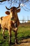 Portrait calf Royalty Free Stock Photo