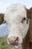 Portrait of a calf Royalty Free Stock Photography