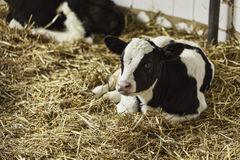 Portrait of calf lying in straw Royalty Free Stock Images