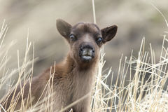 Portrait calf reindeer cloudy day in grass. Portrait calf reindeer cloudy day in the grass Royalty Free Stock Image