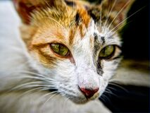 Portrait of Calico Cat Royalty Free Stock Images
