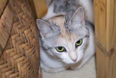 Portrait of calico cat. Calico cat hiding behind the basket royalty free stock photos
