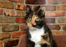 Portrait of a Calico cat. Portrait of one female calico cat looking to viewers left. Sitting in fluffy bed in front of red and brown brick wall Royalty Free Stock Photos