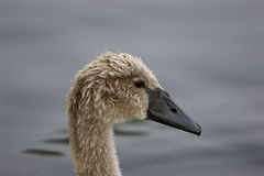 The portrait of the calm swan Stock Photo