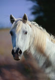Portrait of a camargue horse. Portrait of a white camargue horse Stock Image