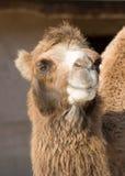 Portrait of a camel Stock Images