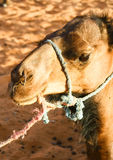 Portrait of a camel Stock Photography