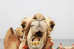 Portrait of a camel Royalty Free Stock Photos