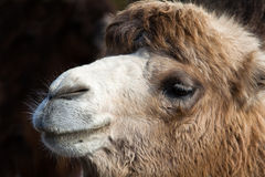 Portrait of Camel Stock Images