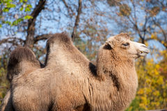 Portrait of camel. In an autumn park Stock Images