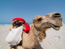 Portrait of Camel. In Tunisia Royalty Free Stock Photo