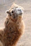 Portrait of camel Royalty Free Stock Photos