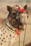 Portrait of a Camel Stock Photo