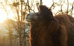 Portrait  camel in autumn park Stock Photos