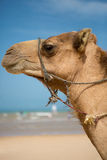Portrait of camel on the beach in Morocco Royalty Free Stock Photo