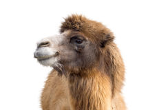 Portrait of Camel Stock Image