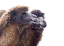 Portrait of Camel Stock Photos