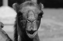 The portrait of a camel. ,Close-up of part of camel head Stock Photos