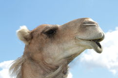 Portrait of Camel Royalty Free Stock Images
