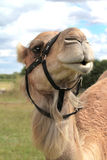 Portrait of Camel, close-up image Royalty Free Stock Photography