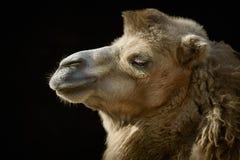 Portrait of Camel Stock Images