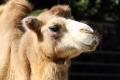 Portrait of a camel close up Royalty Free Stock Image