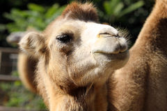 Portrait of a camel close up Royalty Free Stock Photography