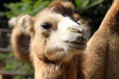 Portrait of a camel close up Stock Photography