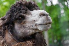 Portrait of camel closeup Stock Images