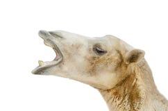 Portrait of camel closeup Royalty Free Stock Photos