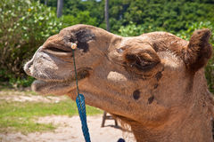 Portrait of a camel. Closeup side view portrait of the head of a domesticated camel Royalty Free Stock Photos