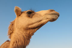 Portrait of the camel on the deep blue sky background. Wild dromedary camel portraint looking in the camera in UAE (United Arab Emirates) desert near Dubai Stock Image