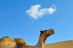 Ship of the desert. Portrait of camel in desert on sky background. Negev, Israel Royalty Free Stock Images