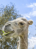 Portrait of a camel eating (kind Camelius) Royalty Free Stock Photos