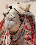 Portrait of a camel Egypt Stock Photography