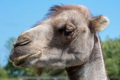 Portrait of a camel head against a blue sky Stock Photography