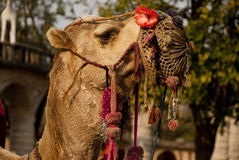 Portrait of a camel Royalty Free Stock Images