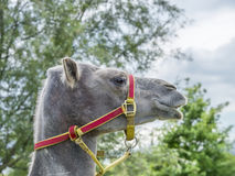 Portrait of a camel (kind Camelius), side view stock images
