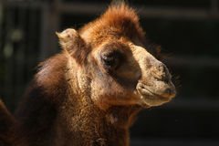Portrait of a camel male close up Royalty Free Stock Photography