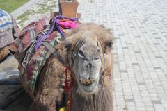 Portrait of a camel royalty free stock photo