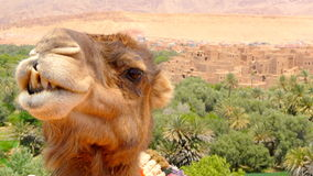 Portrait of a camel resting close to a palm forest in a Tinerhir village near Georges Todra, Morocco Stock Photos