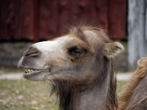 Portrait of a camel. 's head Royalty Free Stock Image