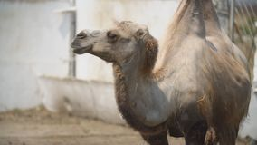 Portrait of a camel standing. And looking out for something stock video