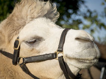 Portrait of a camel Stock Photo