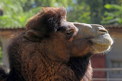 Portrait of a camel Stock Image