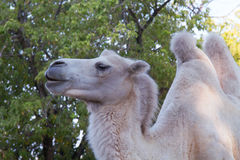 Portrait of a camel Stock Photos