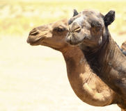 Portrait of a camels. Portrait of camels in the desert Royalty Free Stock Images