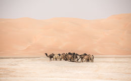 Portrait of camels in the desert. Stock Image